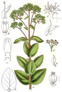 Sanct Hans Urt i en botanikbog fra Tyskland, Jacob Sturm, Deutschlands Flora in Abbildungen